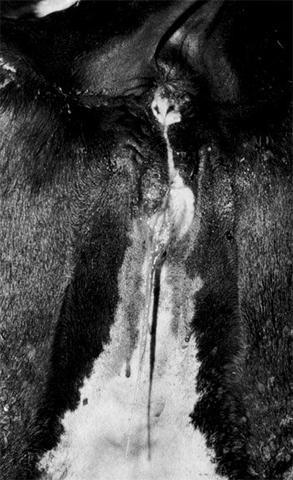 vulva discharge mucous signs of heat cow heifer